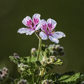 picture of sweethearts  - Close up on erodium pelargoniiflorum  - JPG