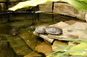 picture of green turtle  - Three small turtles in a pond in a green house - JPG