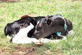 pic of calf  - calf in feedlot on cattle ranch brazil - JPG