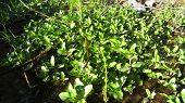 stock photo of marsh grass  - Green spring marsh plant on the wet soil - JPG