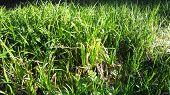 foto of marsh grass  - Fresh green leaves of spring grass sunset - JPG