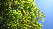 picture of maple tree  - Maple - JPG