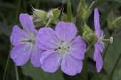 picture of geranium  - Closeup of the purple - JPG