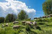 foto of dike  - Group newly shorn sheep walks and eats at the top of the dike between the long grass - JPG
