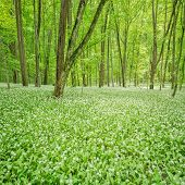 stock photo of deep  - White flowers of the ramsons or wild garlic in the deep forest - JPG