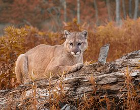 image of cougar  - Adult cougar resting on a log with autumn foliage around him - JPG