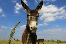 image of headstrong  - Donkey in a Field in sunny day - JPG