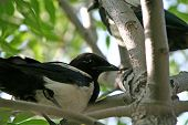 The Magpie Sitting In Bushes Of A Tree.