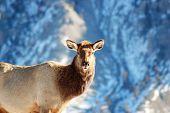 Female Elk Staring