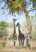 Постер, плакат: Giraffes Hid From The Sun In An Acacia Shadow Under A Shining Sun Two Giraffes Stand At A Tree Rot