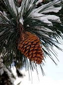 stock photo of pine cone  - big pine cone on the tree covered with snow - JPG