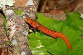 Red Salamander (Pseudotriton ruber)