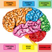 pic of thalamus  - Illustration body part vector - JPG