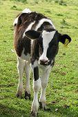 Calf Grazing poster