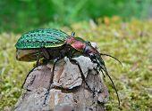 Escarabajo Carabus de Schrenck