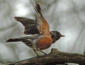 stock photo of robin bird  - robin with wings raised - JPG