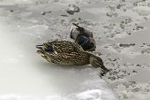 Wild Duck And Drake Living On An Ice Floe. Photo For The Site About Birds, Nature, Seasons, The Arct poster