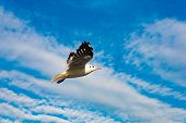 Freedom Concept, White Seagull Soaring In The Blue Sky In Miami. poster