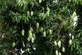 Unripe Green Mangoes Hanging From A Mango Tree poster