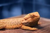 Great Reptile - Bearded Dragon Sitting On A Wooden Table And Looking In The Camera With Vigilance. B poster
