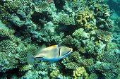 Bluefaced Angelfish
