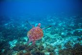 Wild Sea Turtle Swims In Sea Water. Green Sea Turtle Closeup. Wildlife Of Tropical Coral Reef. Torto poster
