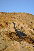 Heron Dark