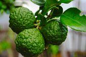 picture of leech  - Three leech lime fruits on its tree - JPG