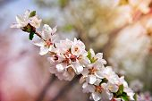 White Blossoms On The Branch On Natural Blurry Background During Spring Blooming . Branch With Sakur poster