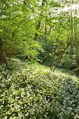 Wild garlic in spring.