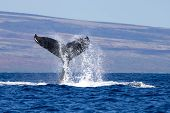 Close Up Humpback Whale Tail With Water Flying Off As Whale Slaps Surface Of Ocean poster