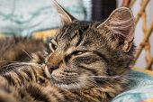 Young Brown Striped Cat With Green Eyes Is Lying And Posing To Camera. Beautiful Little Cat Looking  poster