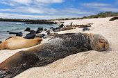 Galapagos Islands Animal wildlife nature: Sea Lions in sand lying on beach on Gardner Bay Beach, Esp poster