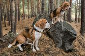 Two cute purebred puppies with collars and leashes standing on big stones in the forest while chilli poster