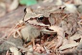 Brown Frog In A Forest