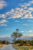 Typical Beautiful Landscape Of Moremi Game Reserve With Road Ans Acacia Tree, Okavango Delta, Botswa poster