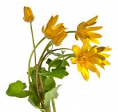 Bouquet  Blossom Flowers of Lesser celandine ( Ficaria verna ), isolated on white
