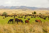 Pasture In The Mountains, Horses And Sheep Graze In A Green Meadow On A Background Of Mountains poster