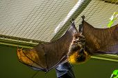 Rodrigues Flying Fox With Open Wings, Tropical Mega Bat, Endangered Animal Specie From Africa poster