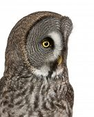 Close up of Great Grey Owl or Lapland Owl, Strix nebulosa, a very large owl, in front of white backg