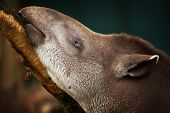 image of tapir  - Closeup portrait of a Tapir eating tree bark - JPG