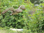 Duck quacking in flight