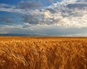 Wheat Field And Prairie Sky