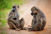 Baboon monkeys - a parent and a baby in African bush. Safari in Tsavo West, Kenya