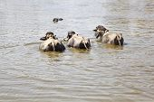 Water Buffalo Group Take A Dip