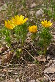 picture of adonis  - Yellow Adonis in spring forest on background of leaves Russia.