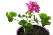 closeup young plant of geranium in a pot - scion