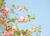 ein Zweig mit schönen rosa Blüten gegen den blauen Himmel. Amygdalus Triloba. sehr geringe Schärfentiefe