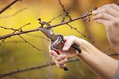 Pruning an fruit tree - Cutting Branches at spring