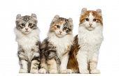 Постер, плакат: Три американских Curl котята 3 месяца сидит и смотрит в камеру перед белым backg